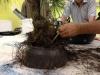 démaillage des racines
