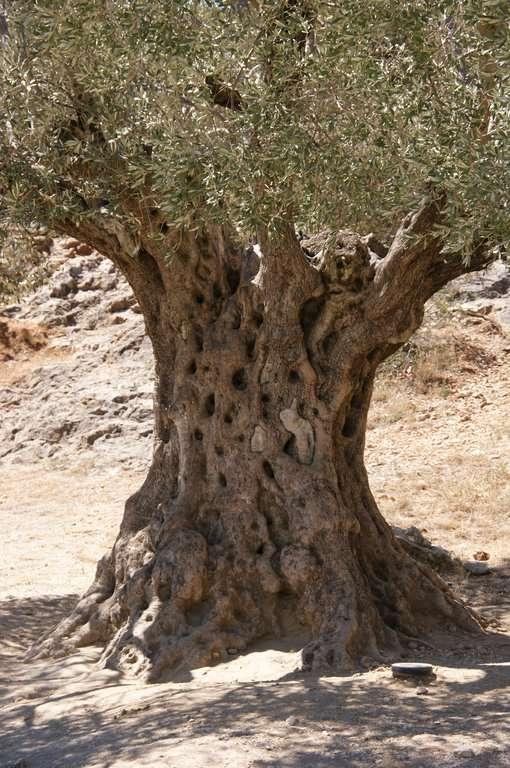 détail tronc olivier