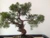 junipérus itoïgawa avant