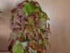 vigne vierge